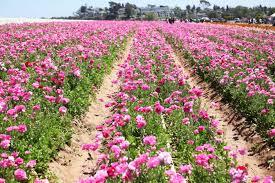 carlsbad flower garden carlsbad flower fields the sweet sunshine