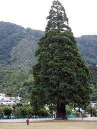 sequoias outside their range