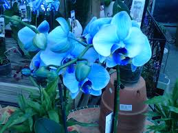 blue orchids for sale blue orchid plants for sale indigo mystique orchid joins blue