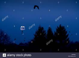 full moon crows silhouette birds flying above trees in dark stock