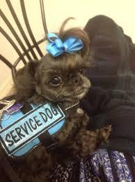 buy a affenpinscher 5 big jobs for small service dogs u2013 iheartdogs com