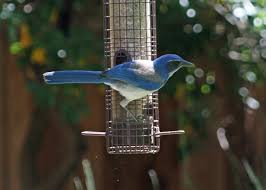 are bully birds driving other birds away from feeders