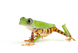 20 things you didn u0027t know about frogs discovermagazine com