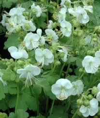 Fragrant Shade Plants - 25 best shady garden images on pinterest shade flowers garden