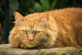 large cat breeds list of the largest domestic cat breeds in the