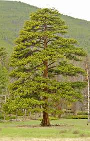 conifers rocky mountain national park u s national park service