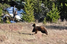 Bears Montana Hunting And Fishing - grizzly bears montana hunting and fishing