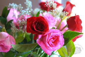 valentines roses fresh roses free stock photo image picture s day