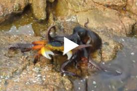 watch stealthy octopus leaps from water and attacks crab