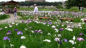 lovely iris flowers garden in ichikawa tokyo japan