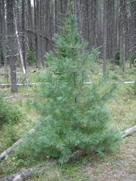 Fraser Christmas Tree Permit by Choosing A Christmas Tree Habitat Horticulture Pnw
