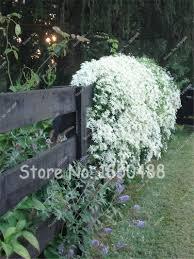 aliexpress com buy rare flower climbing lilac seeds 50 pcs bag