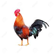 free range chicken images u0026 stock pictures royalty free free