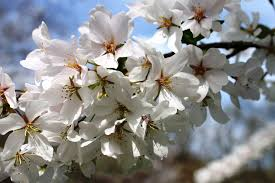one family tradition returns with the bloom of spring