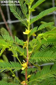 native plants to florida sensitive pea chamaecrista nictitans var aspera plants tree
