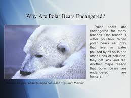 Polar Bear Fur Rug Polar Bears Endangered Animals Series By Class 2 1 The St