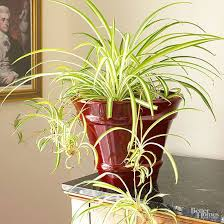 indoor plants for low light spider plants low lights and houseplant