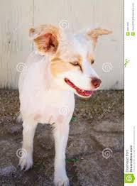 australian shepherd haircuts dog haircut stock image image 34017861