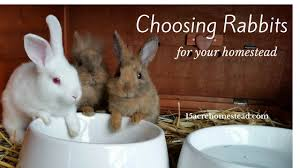 choosing rabbits for the homestead 15 acre homestead
