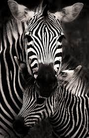 best 25 zebras ideas on pinterest smiling animals super happy