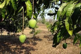 Mango Boom mango boom vruchten 盞 gratis foto op pixabay