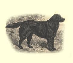 in long hair do labradors come in long hair natural history