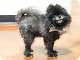 affenpinscher arizona kona adopted dog chandler az pomeranian