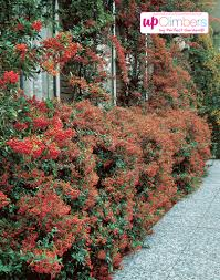 firethorn pyracantha my perfect garden