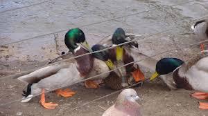 aggressive mallard duck mating youtube
