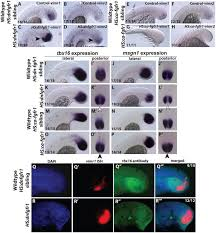 fgf and canonical wnt signaling cooperate to induce paraxial