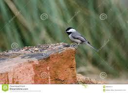 carolina chickadee bird athens georgia stock photo image 86945013