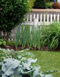 outdoor backyard garden with raised beds growing onions in your