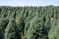 real christmas trees for sale national christmas tree association education tree facts