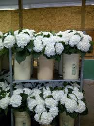 White Hydrangeas Blue Magic Hydrangeas Blue Magic Greenhouses
