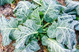 gardening growing frozen greens