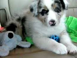australian shepherd 14 weeks shy 8 week old blue merle australian shepherd youtube