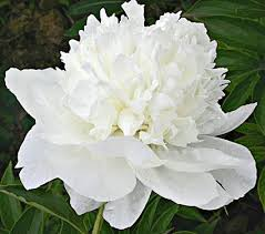 Peonies For Sale Peonies U0026 Peony Planting Guide White Flower Farm