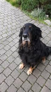belgian shepherd gumtree the 25 best hovawart ideas on pinterest hovawart dog