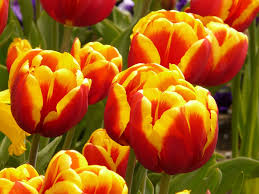 wallpaper bunga warna orange flowers tulips colorful free photo on pixabay