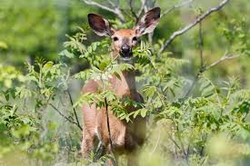 hinterland who u0027s who white tailed deer