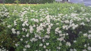 evergreen shrubs which can hedge nicely any ideas