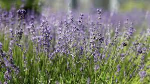 Most Fragrant Lavender Plant The Story Behind Martha U0027s Lavender Martha Stewart