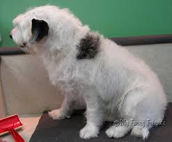 bichon frise jack russell cross temperament pet grooming the good the bad u0026 the furry grooming a wire hair
