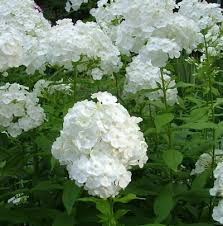 227 best scented plants images on pinterest gardening herbs and