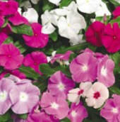 vinca flowers vinca vinca flower seeds vinca flower pacifica mix vinca flower