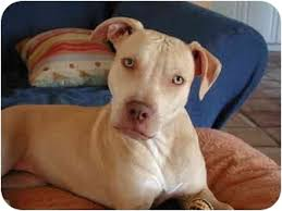 american pitbull terrier c sandy adopted puppy fort lauderdale fl american