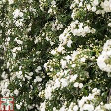 rose banksiae u0027rosea u0027 climbing rose thompson u0026 morgan