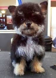 australian shepherd mixed with chihuahua 21 unreal poodle cross breeds you have to see to believe