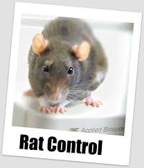 do rats chew electrical wires dolgular com