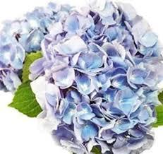 wholesale hydrangeas 16 best blue flowers images on blue flowers pretty